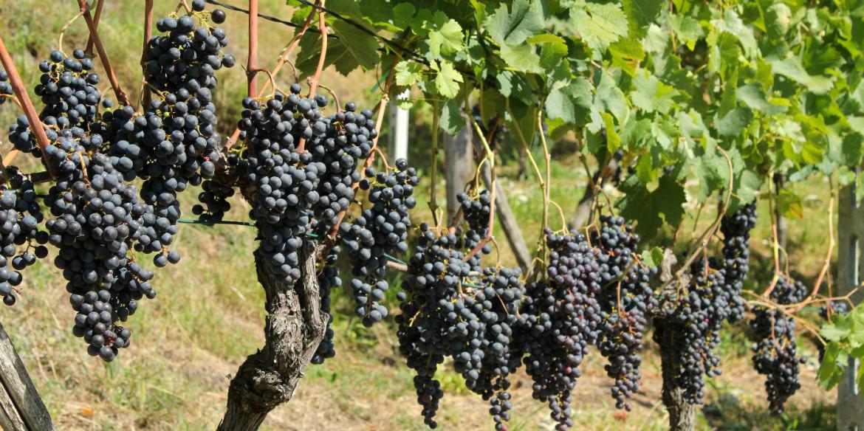 Suivant les traces du vin